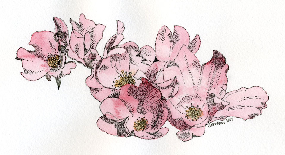 pink roses ink watercolor drawing