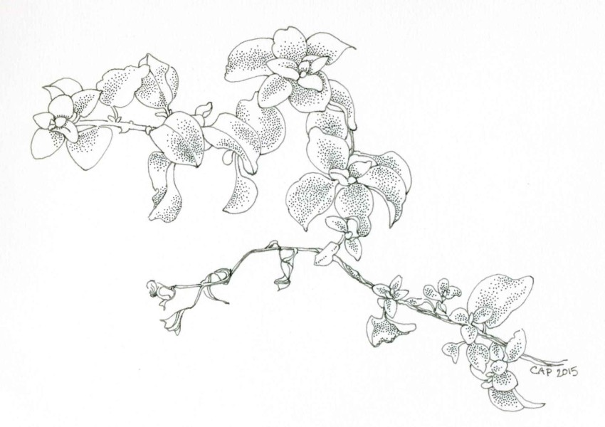 Licorice plant drawing by Carolyn A Pappas
