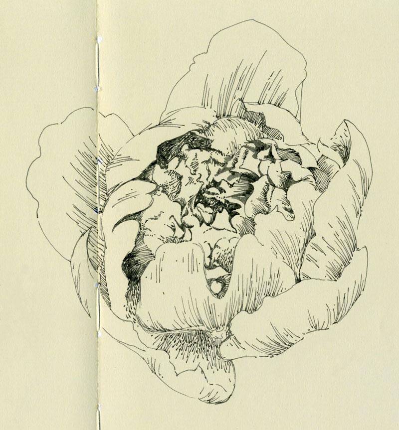 peony flower ink sketch