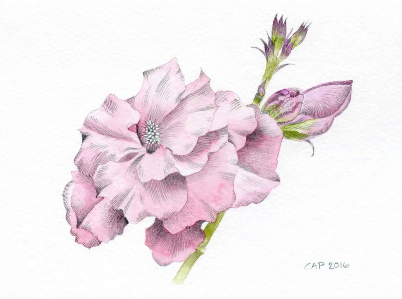 pink peony drawing