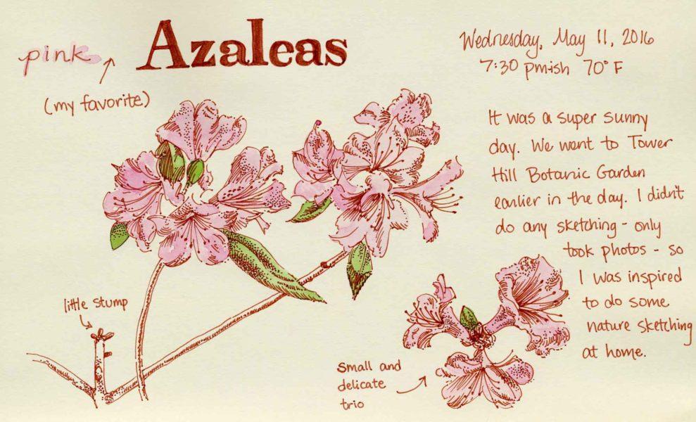 azaleas nature sketch