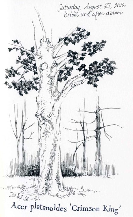 Crimson King Norway Maple sketch