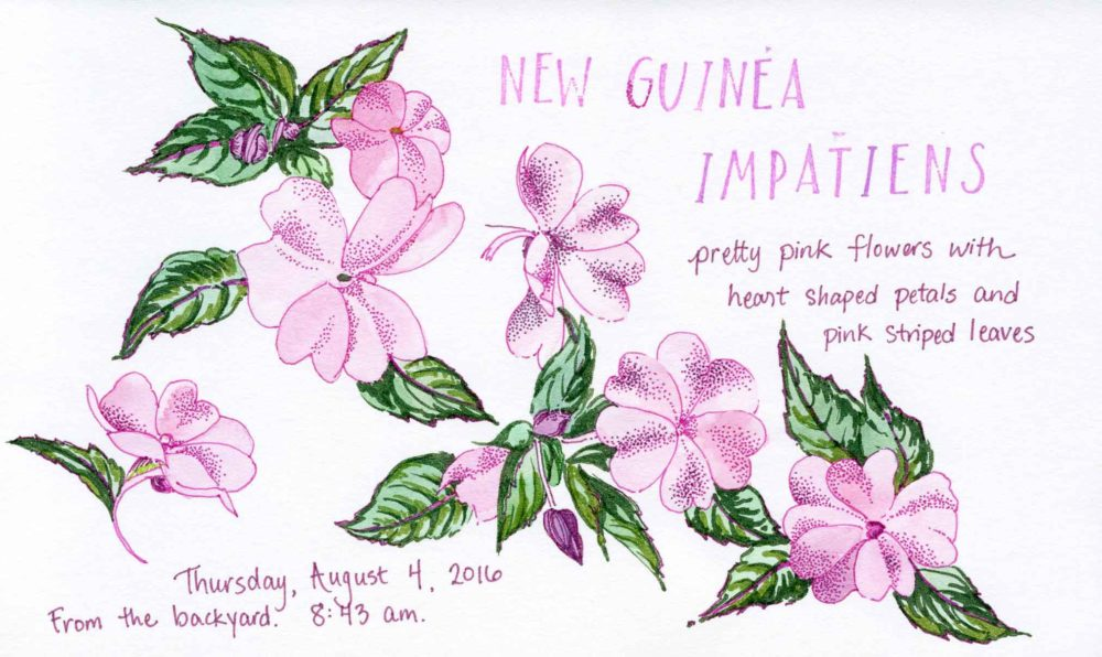 new guinea impatiens drawing