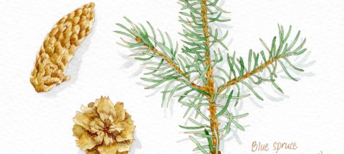 Blue Spruce Nature Study