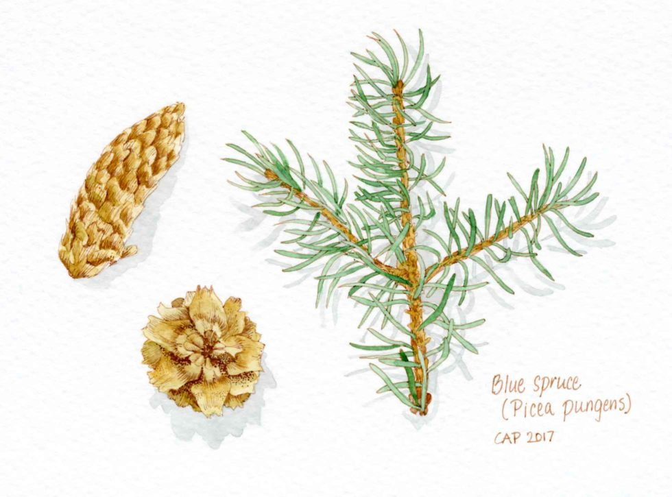 blue spruce drawing