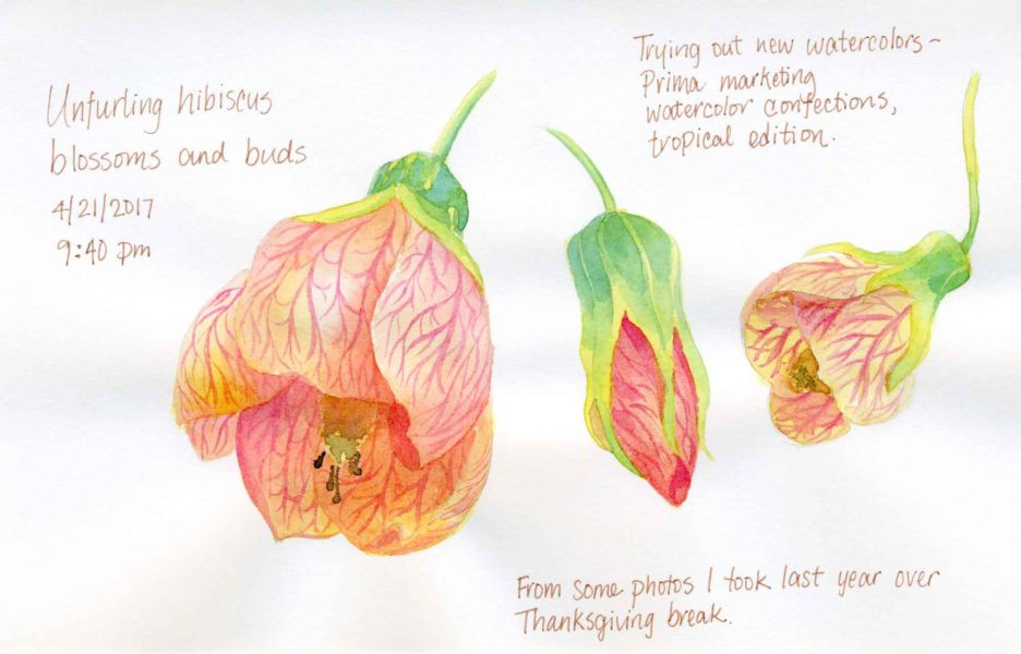 hibiscus sketch