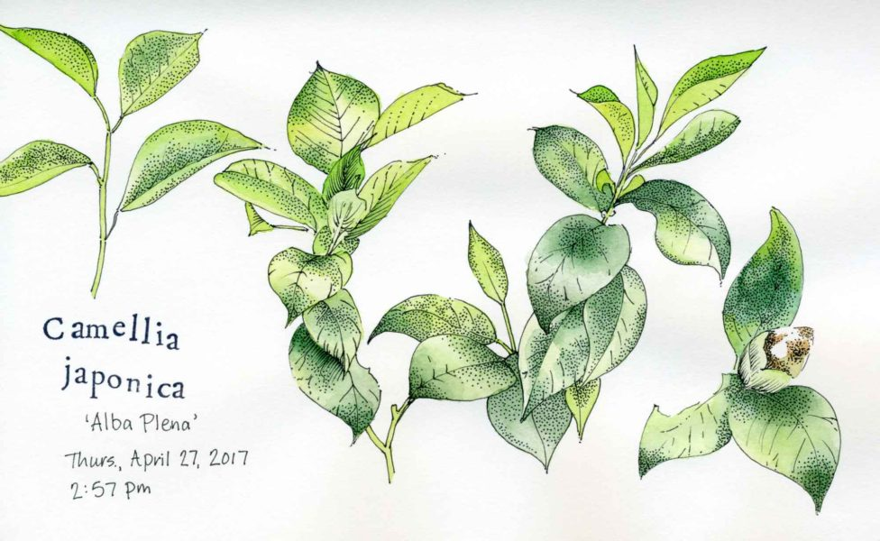camellia japonica sketch