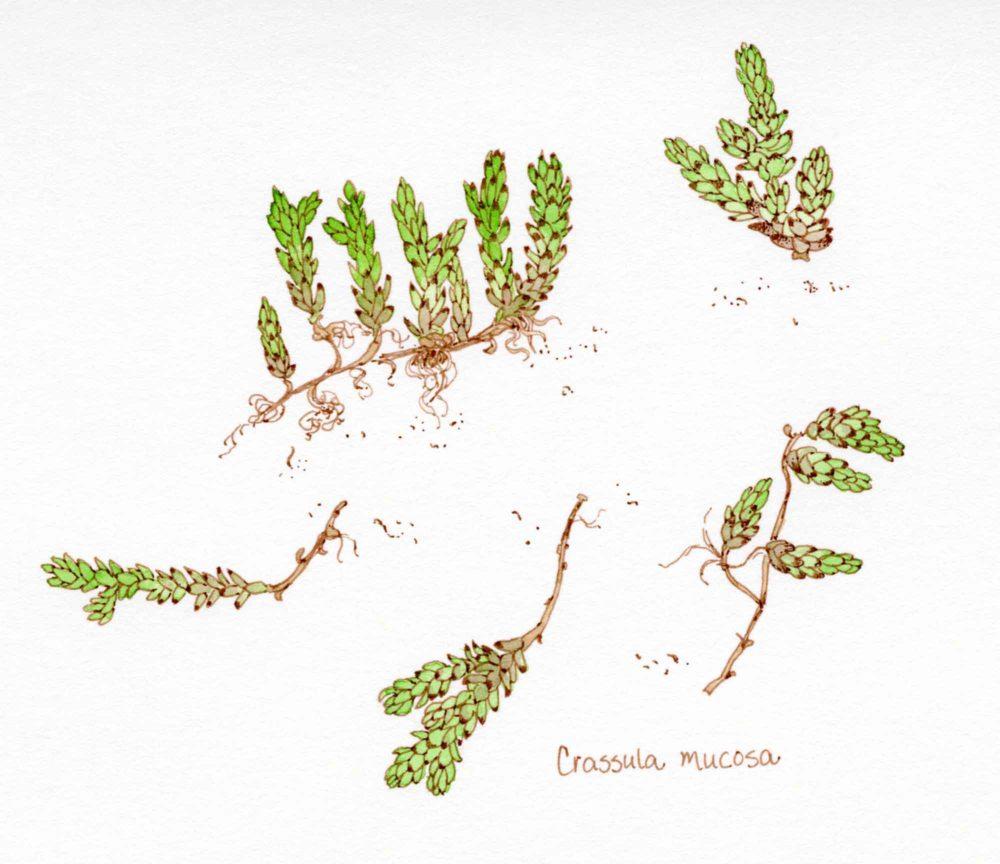 crassula mucosa sketch