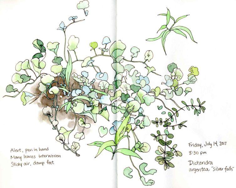 dichondra argentea garden sketch