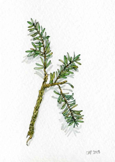 pine needles drawing